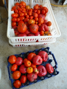 Pallets of tomatoes