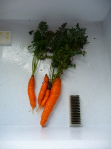 First harvest of carrots