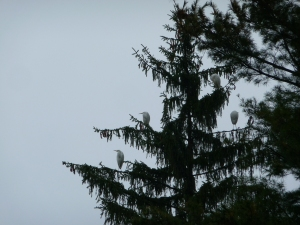 Great Egrets Roosting