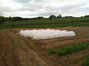Beans under row covers - 1st planting