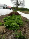 The lettuce row