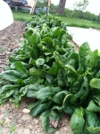 Two spinach varieties