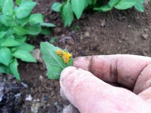 Potato beetle eggs on a lambsquarter leaf