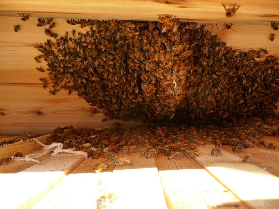 Bees on the underside of the hive roof