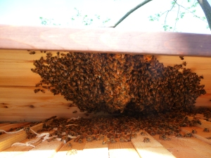 Another view of bees under the roof - not under the top bars :(