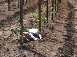 Napper among the tomato plants