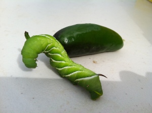 Tomato hornworm on a jalapeno pepper