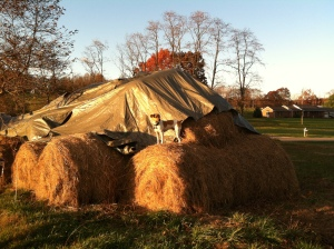 King of the hay