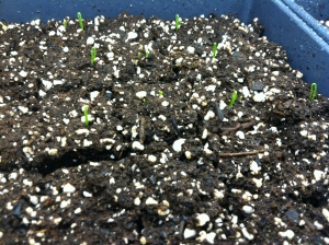 Candy onions emerging