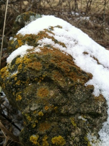 Pretty rock lichen
