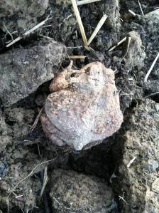 Garden toad