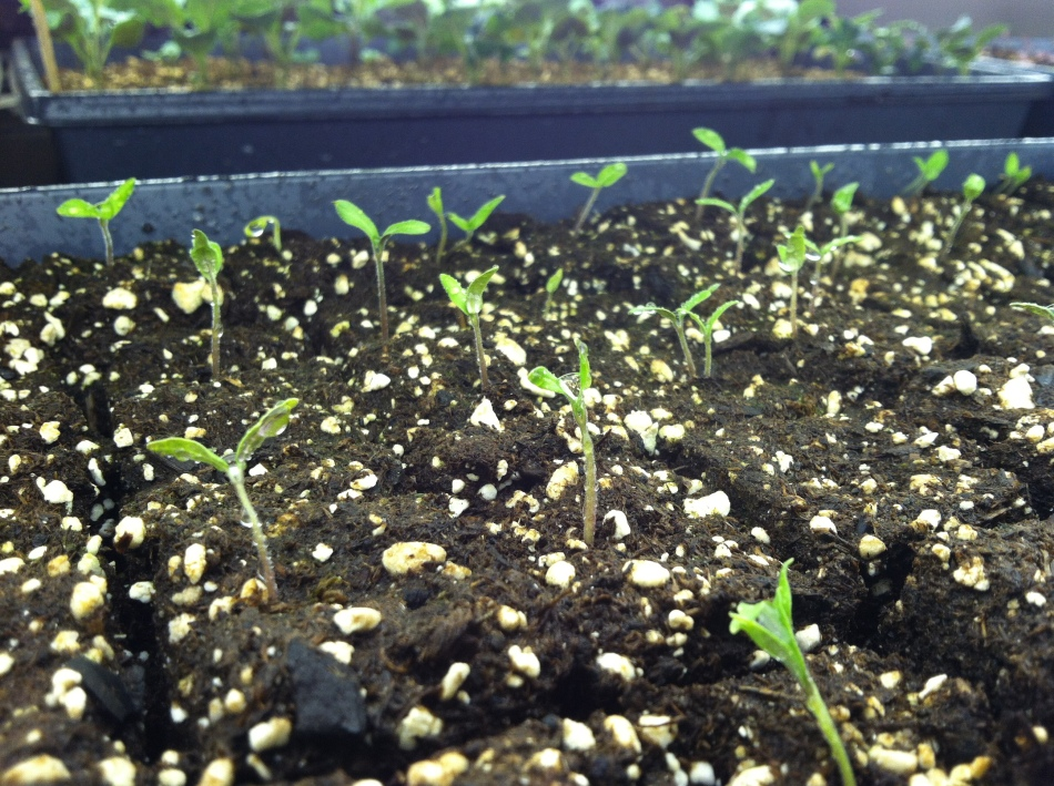 Old Virginia Tomato seeds germinating