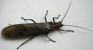 stonefly_leigh-300x163