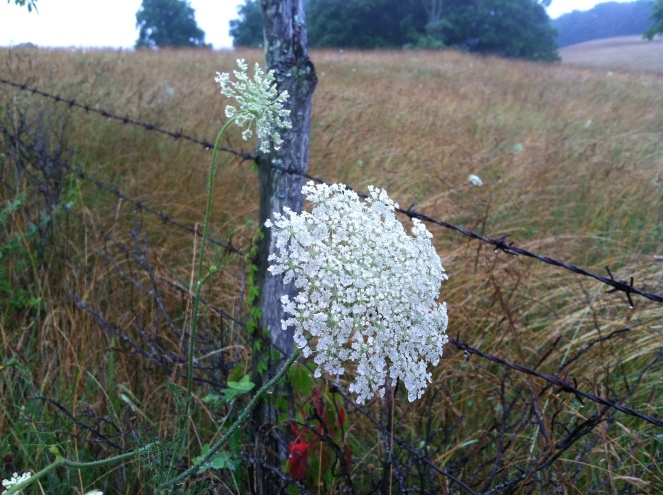 Queen Anne's Lace (Yarrow)