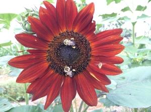 First sunflower blossom