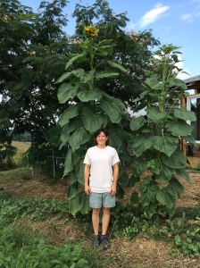 The largest sunflower I have EVER SEEN!!!!