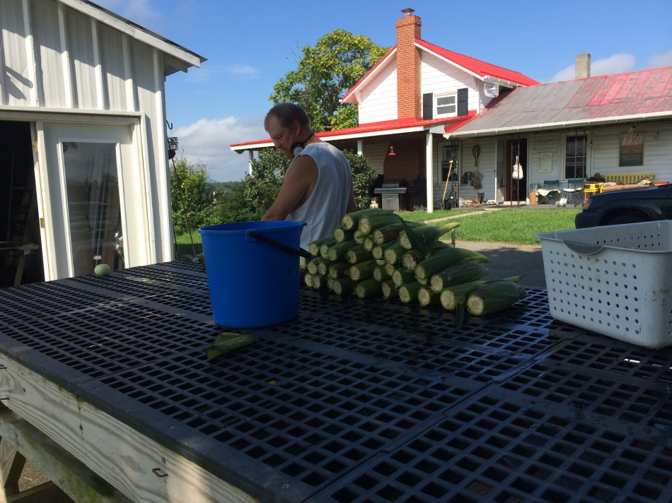 First corn harvest