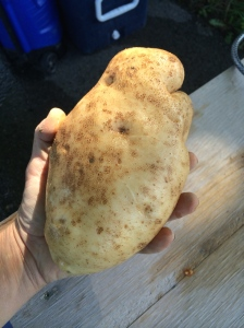 The largest potato I have EVER harvested!!!
