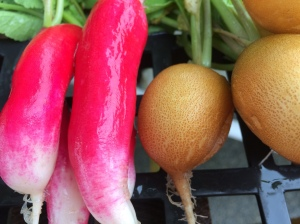 French Breakfast and Helios radishes