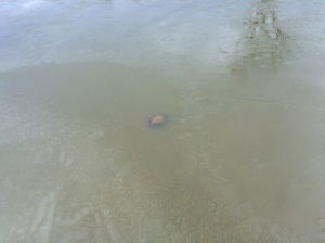 Turtle under the ice