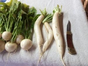 Daikon and turnips