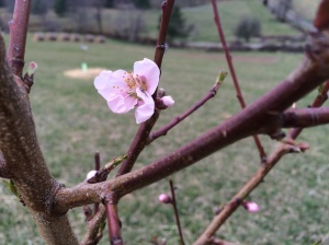 Other peach tree blossom