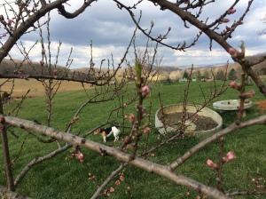 White peach tree blooming