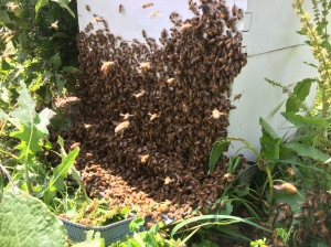 The swarm captured in an empty hive body
