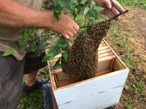 Branch cut and hive loaded