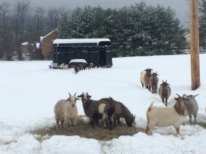 Field goats