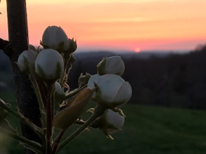 Pear tree blossoms with the setting sun