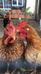 Nothing says Merry Christmas like a chicken!